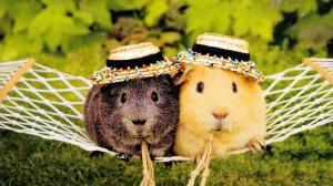 cute-guinea-pigs-wallpaper-4