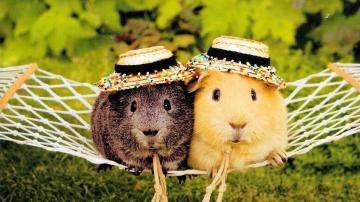 cute-guinea-pigs-wallpaper-4